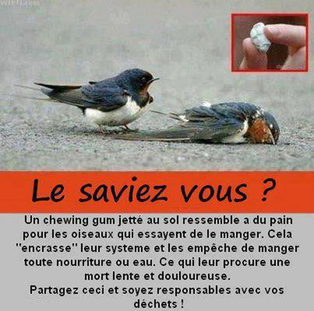Un chewing gum jeté au sol ressemble à du pain pour les oiseaux qui essaient de le manger. Cela les empêche de manger toute nourriture ou eau, ce qui leur procure une mort lente et douloureuse. Partagez ceci et soyez responsable de vos déchets !