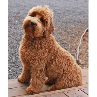 Голдендудль (Goldendoodle) собака. ФОТО, ЦЕНА, продолжительность жизни, вес, характеристика, отзывы.
