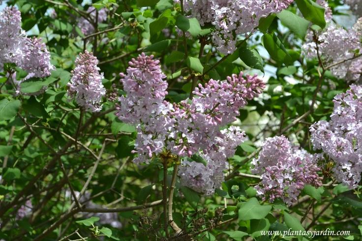 Syringa vulgaris-Lilo común, da gdes. flores perfumadas, a comienzos de la primavera