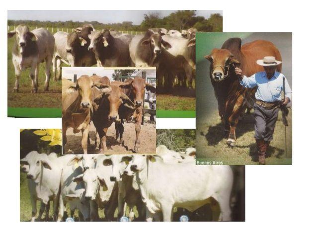 Ganado porcino  Este ganado se localiza desde  los climas templados- fríos a  los cálidos, debido a la fácil  adaptabilidad de...