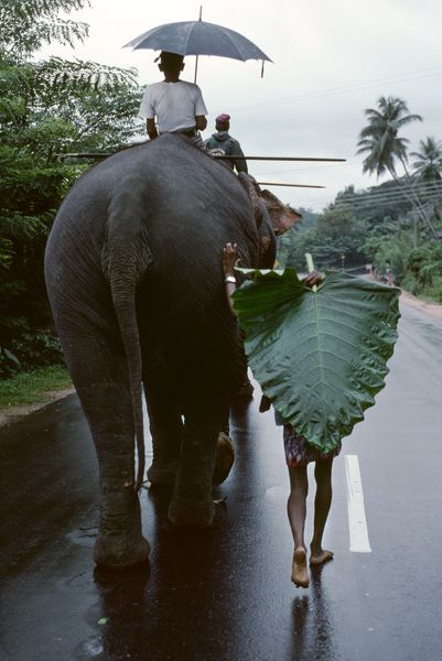 When I was a kid and we would play in the swamps if it was raining you would grab a wild elephant ear plant and use it like an umbrella it worked perfectly.