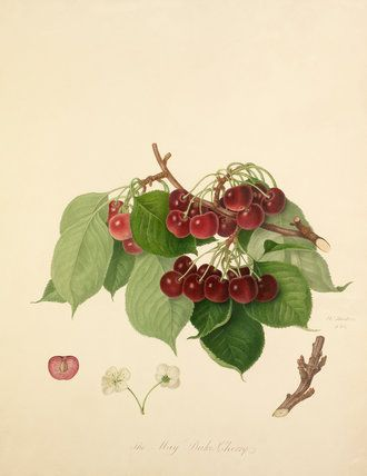 The May Duke Cherry