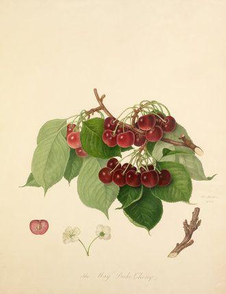 The May Duke Cherry