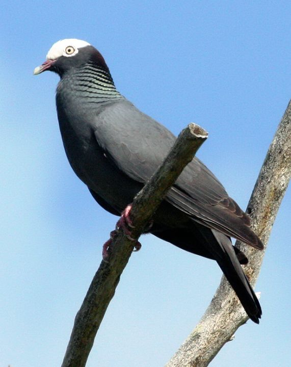 The White-crowned Pigeon (Patagioenas leucocephala, formerly Columba leucocephala) is a species of bird in the family Columbidae (doves and pigeons).[2][3] It inhabits the northern and central Caribbean islands and some places on the North and Central American mainland./by Charles D. Peters