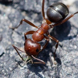 large red and black carpenter ant in indianapolis