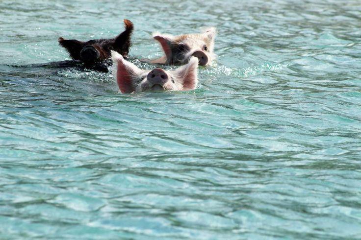 Swimming pigs at exuma bahamas