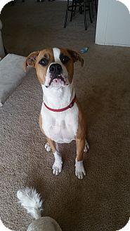 Portage, MI - Boxer/Beagle Mix. Meet Whipit, a dog for adoption. http://www.adoptapet.com/pet/18371685-portage-michigan-boxer-mix