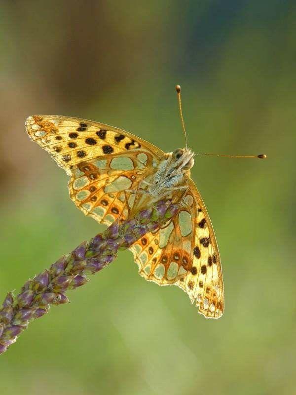 Pin By Karin Aus Wien On Butterflies Moths Beautiful Bugs Butterfly Chrysalis Insects