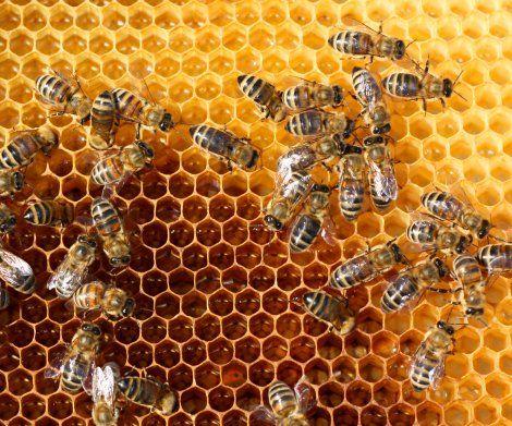 """דבורים - נעקץ ע""""י דבורים ביום הולדתו - ומת"""