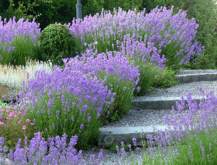 Creating a romantic walkway with beautiful lavendel