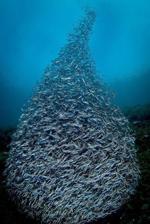 School of fish this is called a bait ball and fish do for School of fish lure