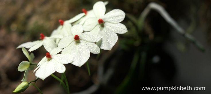 Aerangis luteo-alba var. rhodosticta - Pumpkin Beth