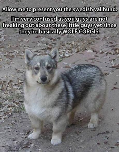 It looks like a corgi-wolf mix