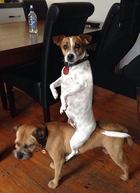 This cowboy dog. | 29 Dogs You Won't Believe Actually Exist