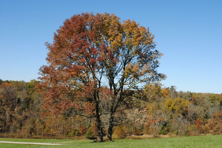 Two White Ash trees next to each other in autumn color at the Stroud Preserve in se PA in Oct 2015