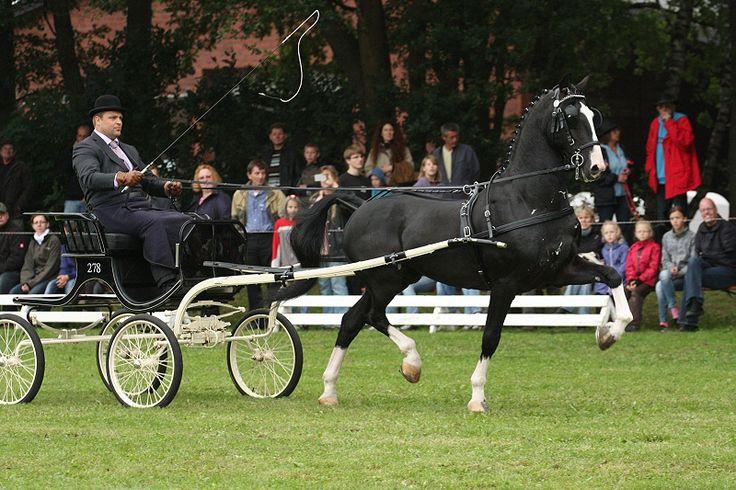 Dutch Harness Horse (Tuigpaard)