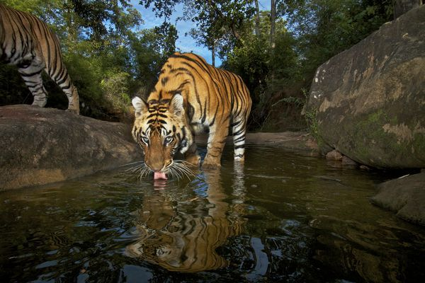 Scientists estimate only about 3,000 wild tigers are left in the entire world.