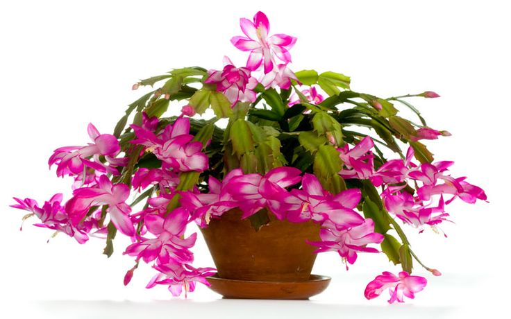 In this guide you'll learn the basics on how to care for a Christmas Cactus. Make your home more colorful this year with this beautiful house plant.