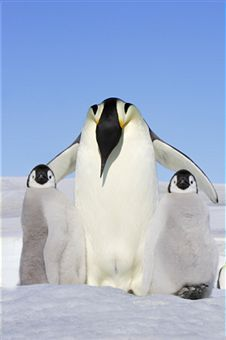 J's Penguins: a collection of Other ideas to try | Baby penguins ...