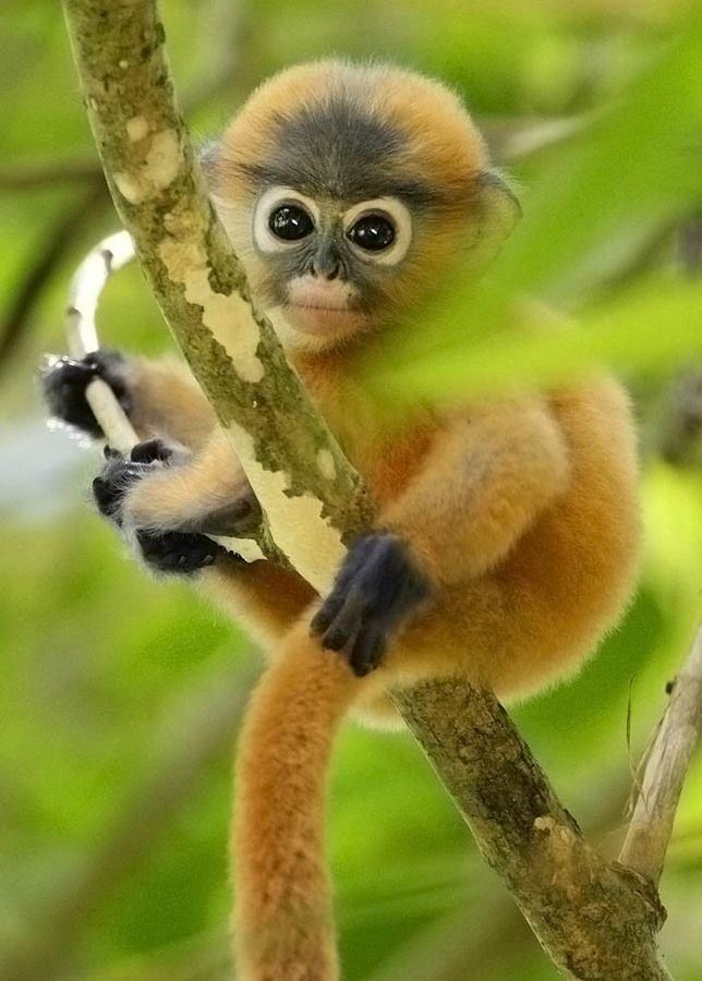 Dusky Leaf Monkey ☺ I love it!!!