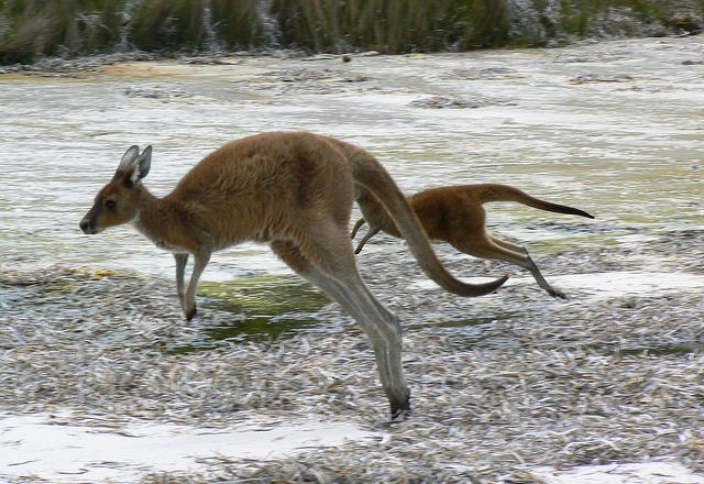 LocumLENS Finalist #6  A candid moment with some beach roos in Australia. One of the best kangaroo pictures we've ever seen. Photo courtesy of Dr. Kathryn Starkey.