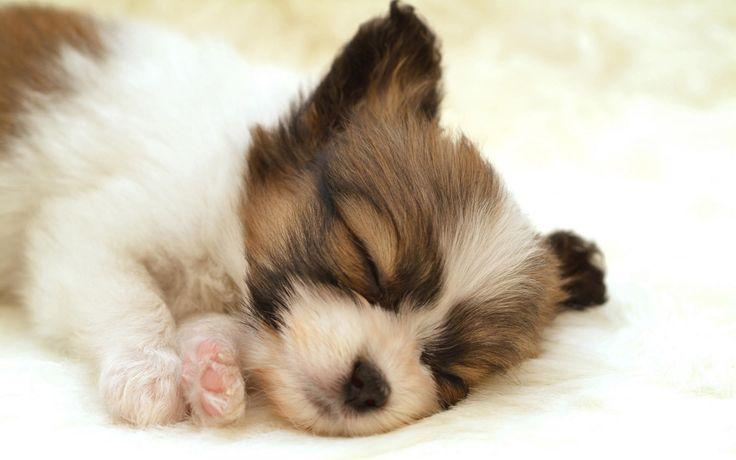 Papillon Puppy Sleeping wallpaperSleep Dogs, Papillons Puppies, Little Puppies, Dogs Cat, Pets, Naps Time, Puppy'S, Sleep Puppies, Animal