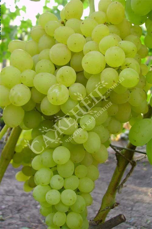 Виноград оригинал  описание