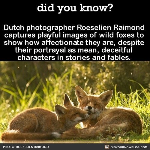 Dutch photographer Roeselien Raimond captures playful images of wild foxes to show how affectionate they are, despite their portrayal as mean, deceitful characters in stories and fables.
