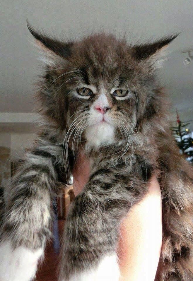 Yoda as a cat? Norwegian Forest Cat