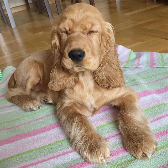 Best Foods For Cocker Spanel Here In 2020 Best Dog Food Beautiful Puppy Dogs