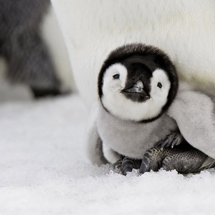 Why are babies so cute? — Cute Baby Penguin.