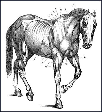 Best 105 horse antomy images on Pinterest | Horse anatomy, Animal ...