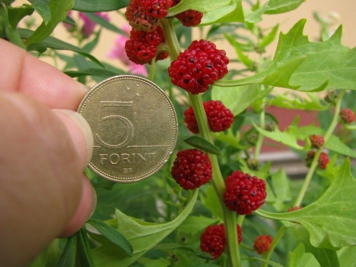 Eperspenót, eperparéj (Chenopodium capitatum) egynyári - bogyó + a levele ehető, spenót v. saláta.