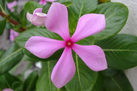 flowering weeds queensland - Google Search