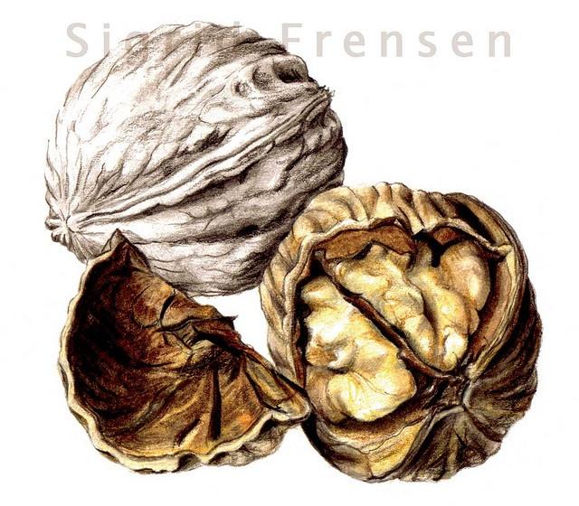 Seeds . Pencil drawing - Walnuts by Sigrid Frensen, via Flickr