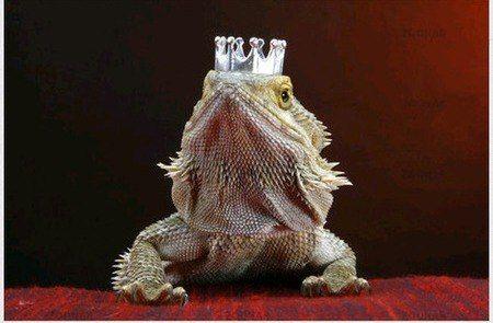 Бородатый дракон в шляпках | 3 фотографии