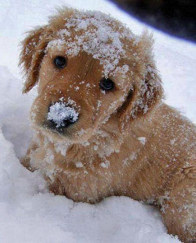 Golden Puppy Playing In The Snow Goldenretrieverpuppy
