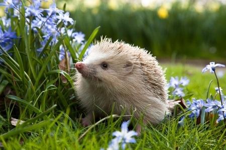 Blonde Hedgehog of Alderney....I met one!! Made my life!