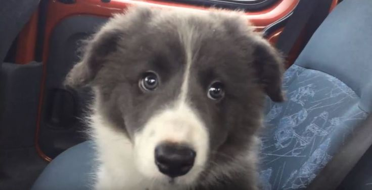 Welcome Riley!  – Border Collies