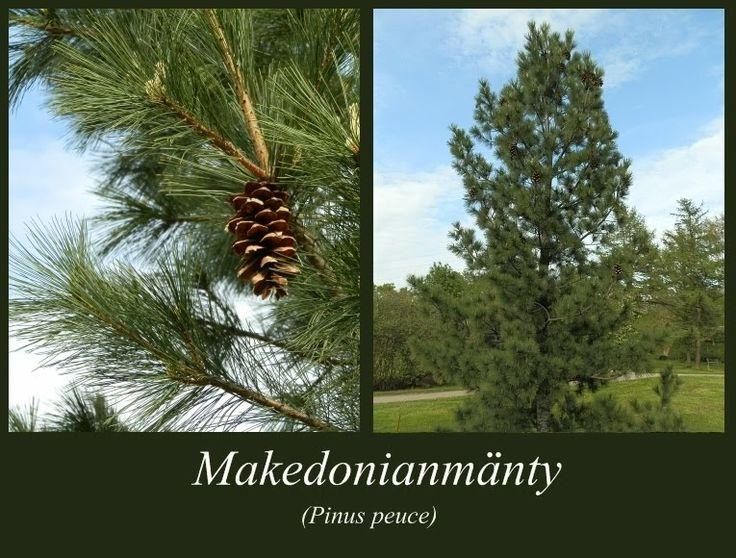 Makedonianmänty - puulajipuisto