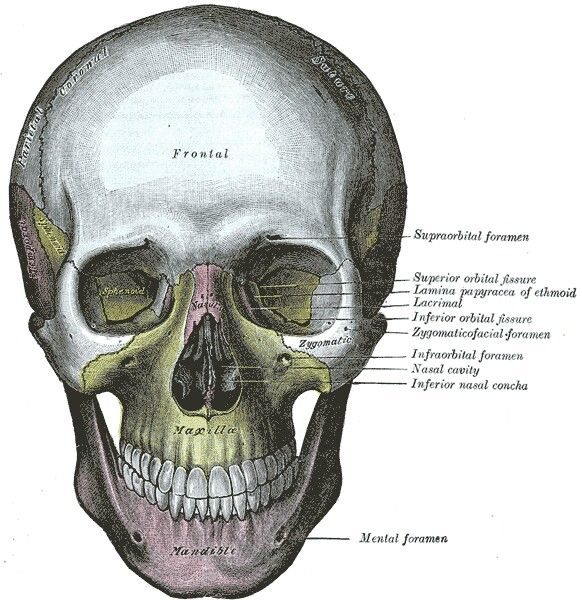 Fantástico Dibujos De Anatomía Médica Kaplan Ilustración - Páginas ...