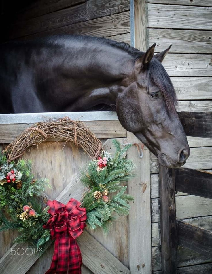 Horse in barn with Christmas wreath hanging on his door. My horse would eat it!