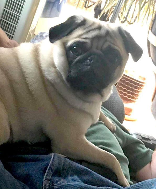 Lost Dog Blaine Pug Male Date Lost 03 29 2019 Dog S Name Nugget Breed Of Dog Pug Gender Male Closest Intersection Losing A Dog Dogs Dog Ages