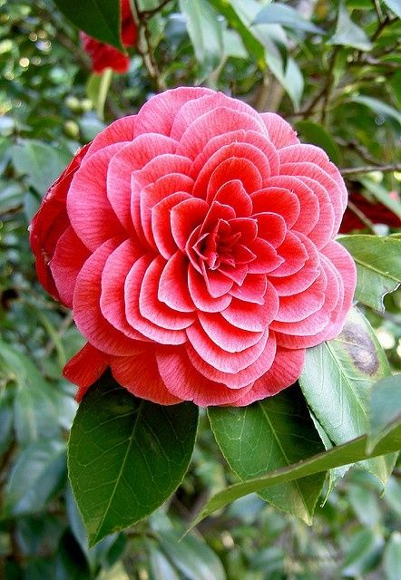 Camelia Symetry. I would love this in my garden!