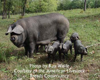 flying h ranch large black hogs pastured pork artisan pork
