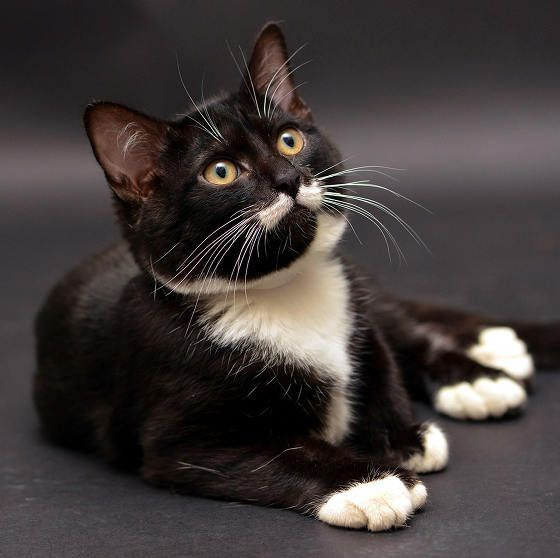 shelter cat with mustache and extra toes