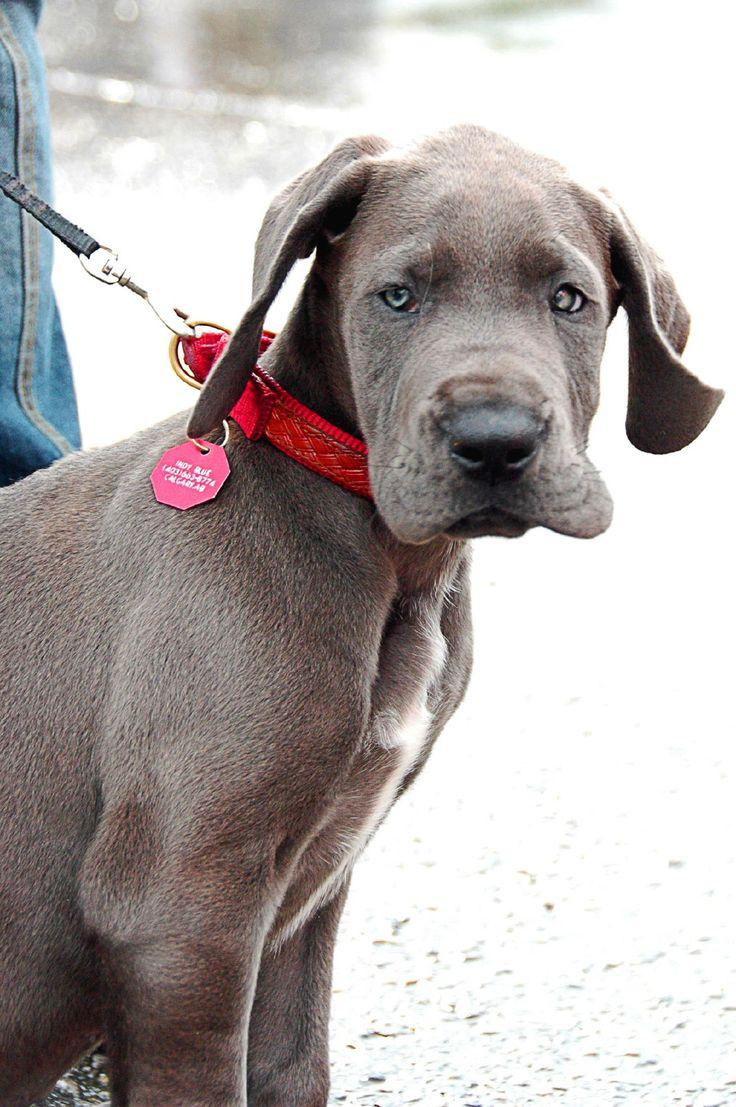 blue great dane puppy