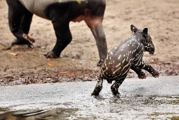 A young Malayan tapir takes a bath in a pool of his enclosure at the Gondwanaland of the zoo in Leipzig, Germany, March 7, 2013. The male baby tapir was born on February 9, 2013 at the zoo.