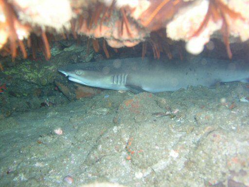 Images Requins Tigres et Taureaux
