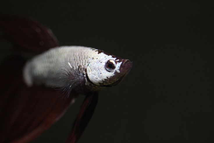 1000 ideas about goldfish aquarium on pinterest for Dragon scale betta fish